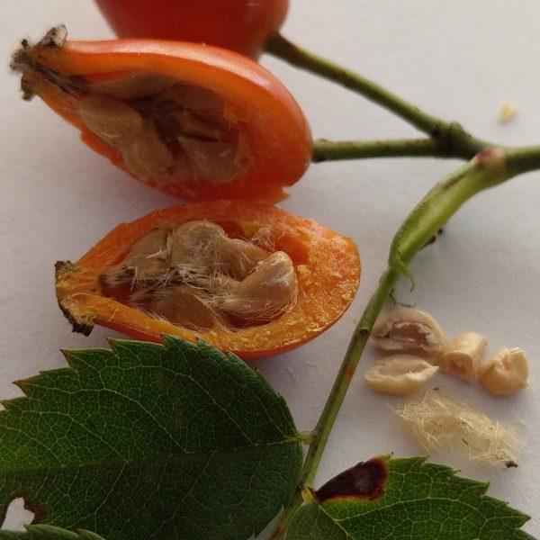 Wildrosenöl (Hagebuttenkernöl) bio raffiniert